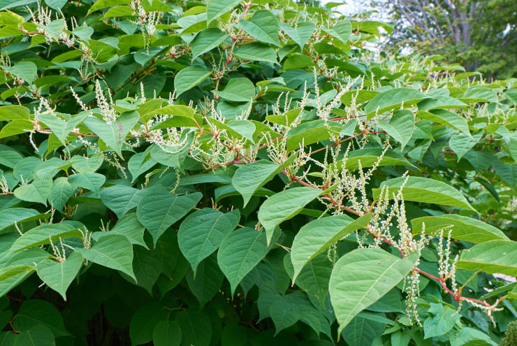 Blooming Sakhalin Knotweed